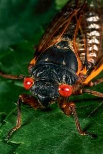 A periodical cicada sits on a leaf.
