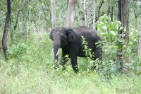 wild-elephant-in-the-woods-somwarpet