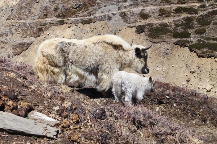 Yak and yakling causing mischief on the Annapurna circuit