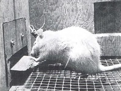 The brave new world of wireheading: A rat from the Olds and Milner experiments, 1954