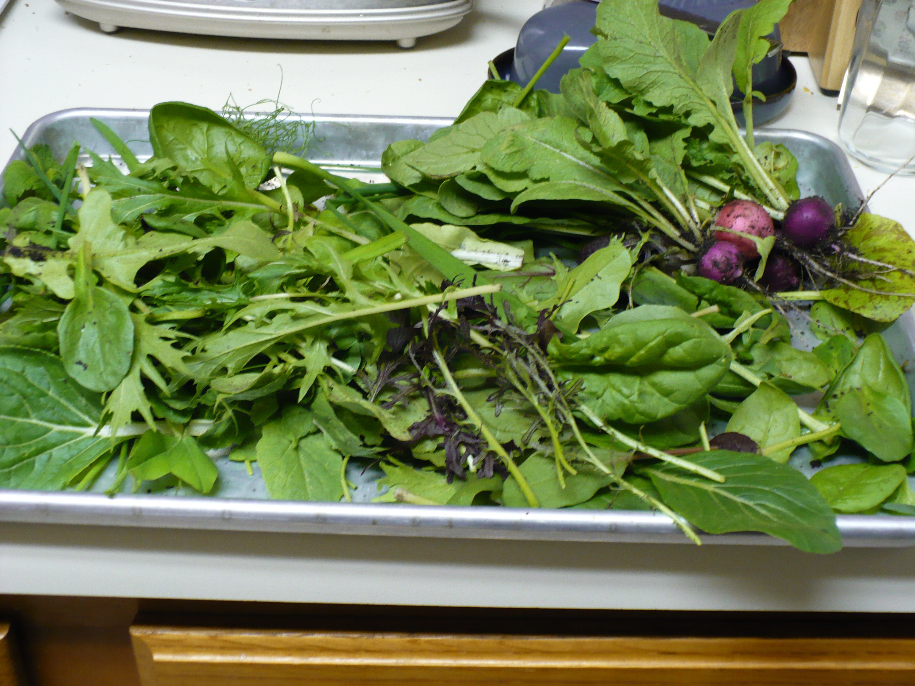 The radishes and greens are spread out on a cookie sheet. Look at all that dirt!