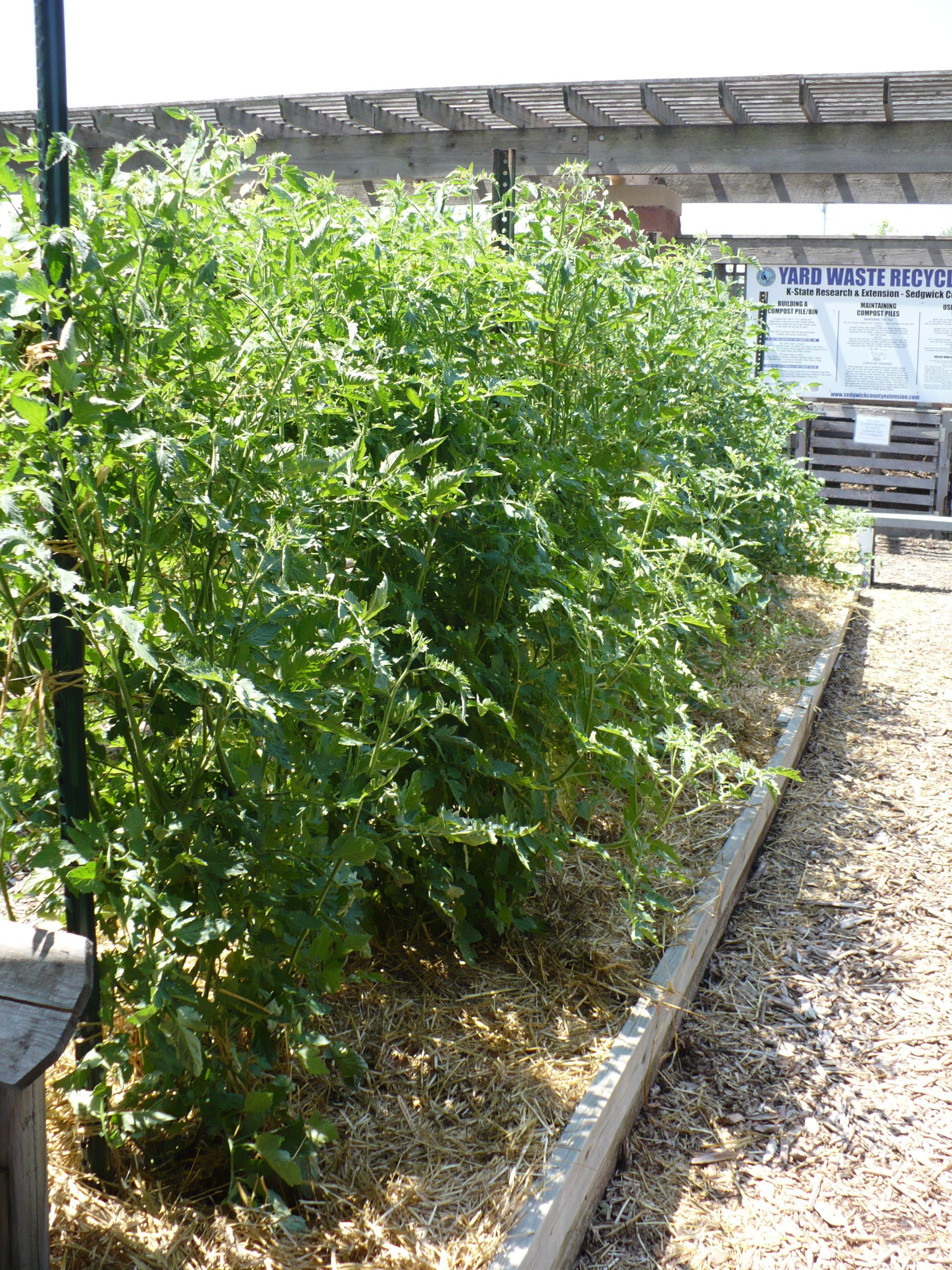 Cherry Tomato Hedge
