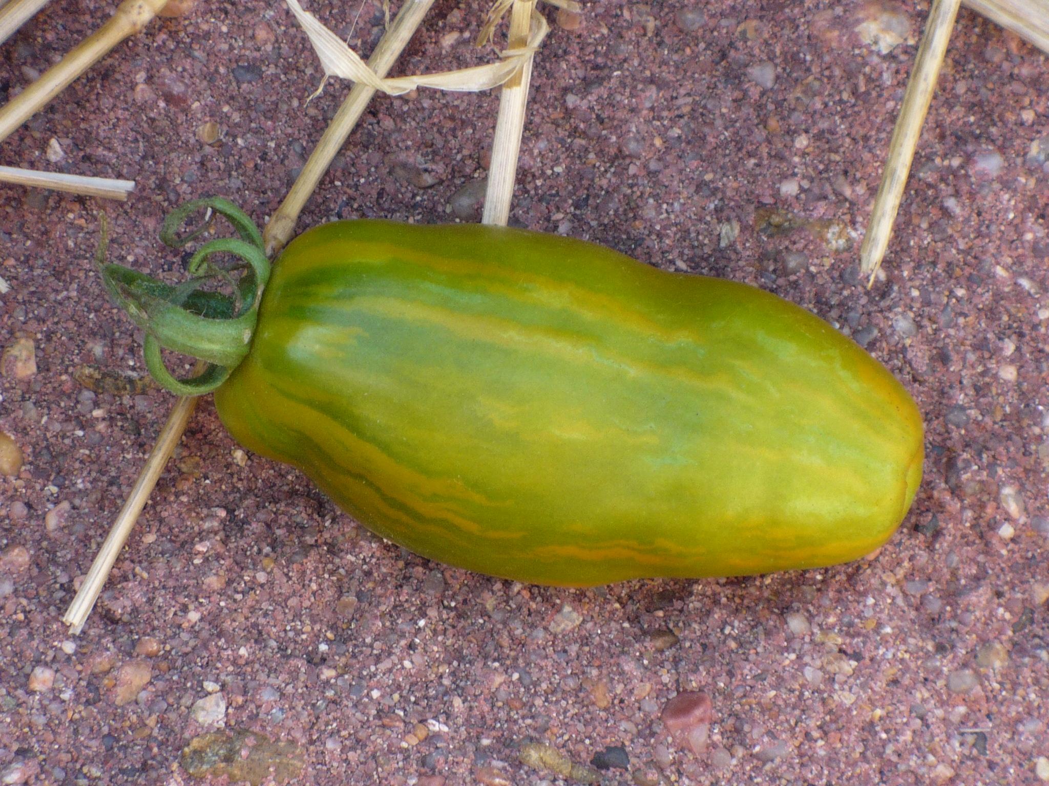 Green Sausage first fruit