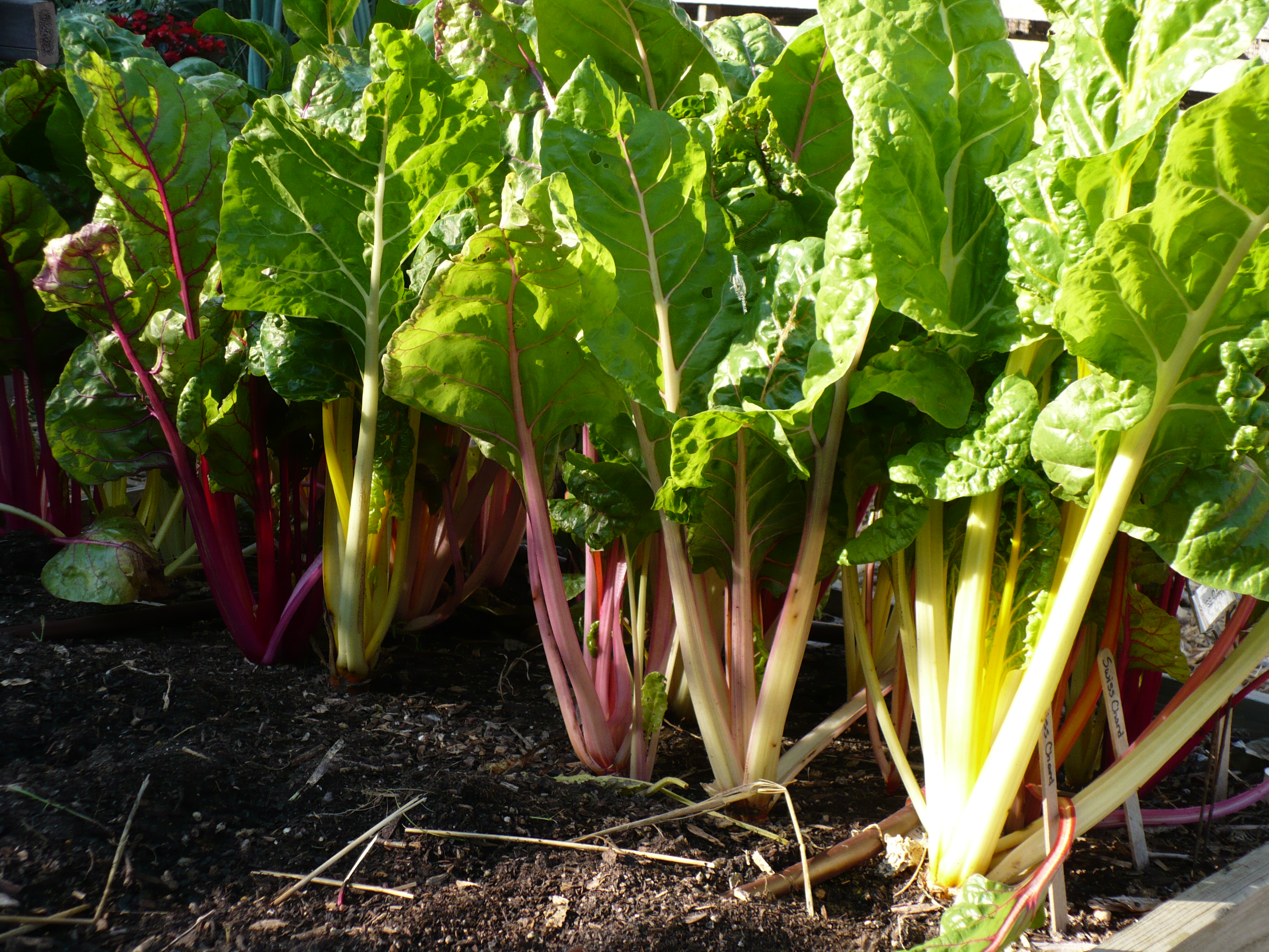 Swiss Chard Forest