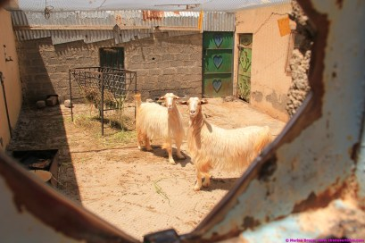 you never know what you will find in old villages - goats in Al Ayn