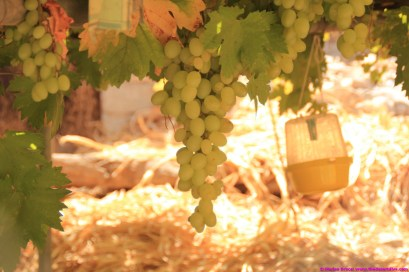 grapes growing in Al Ayn