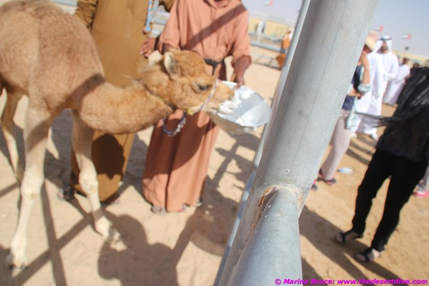 camel festival filomena06