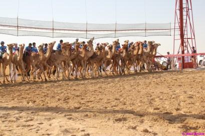 camel festival neil5