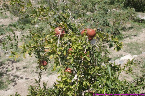 pomegranates- number one crop in Jebel Akhdar