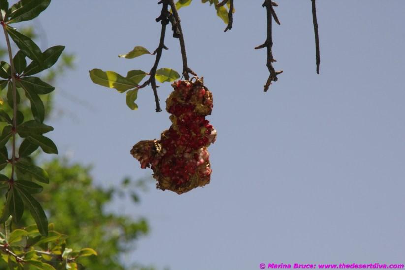very ripe pomegranates