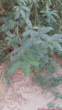 new growth on ghaf trees - even in the summer