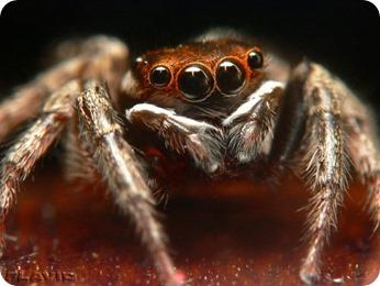 spider-multi-eyes