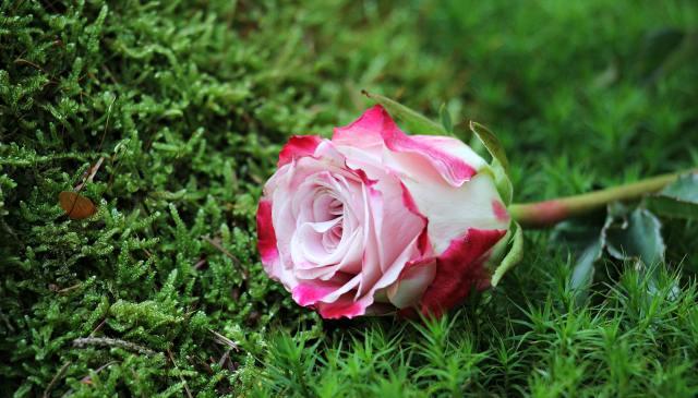 close-up-of-pink-rose-flower-247697