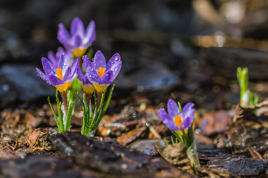 selective-focus-photo-of-purple-petaled-flower-with-water-156203