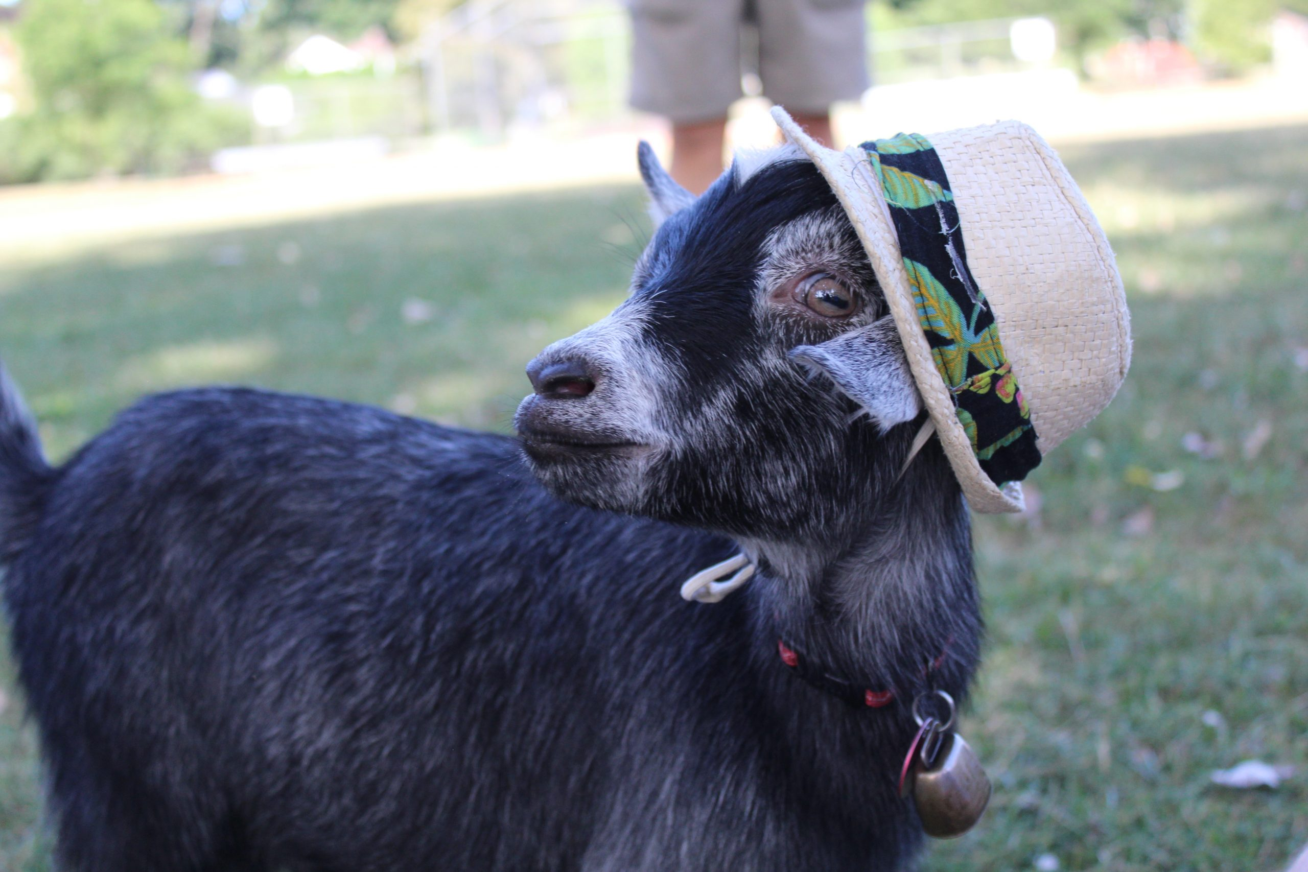 Meet Arnie, the Pygmy goat trotting around Highland Square