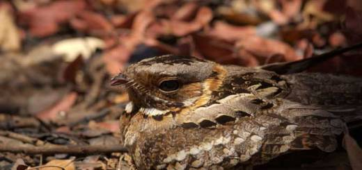 Fiery-necked Nightjar - courtesy of Jolyon Troscianko