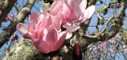 Magnolias at Overbeck's