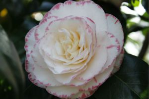 Bicoloured camellia: Margaret Davis.