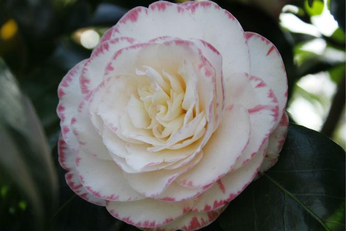 Bicoloured camellia: Margaret Davis.