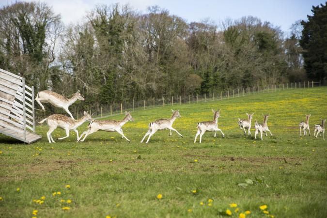 16 fallow deer arrive at Dartington's new deer park. Courtesy of Rebecca Clelland.
