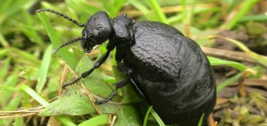 Some of the UK's rarest beetles have been discovered clinging on to a National Trust-owned cliff-top in Devon. The 45-strong colony of Mediterranean oil beetles were found at Prawle Point, near Salcombe, after one of the rare insects was caught in a moth trap. Courtesy of John Walters
