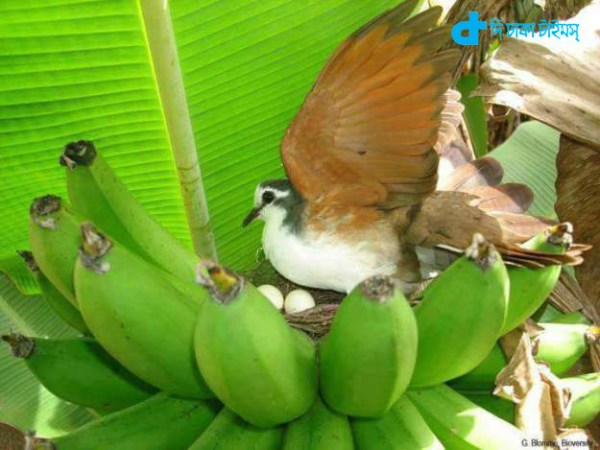 Banana Tree nesting nice a view