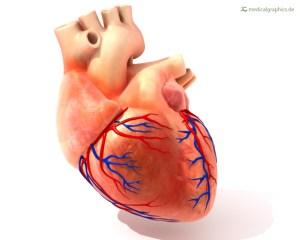 人类心脏冠状动脉