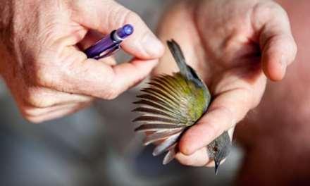 A Rocha Kenya: Bird Ringing