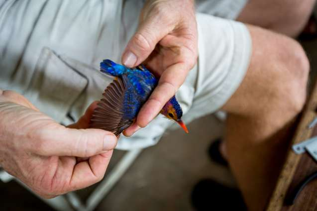 Collin Jackson inspects the wing of a Pygmy Kingfisher.