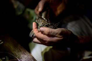 An A Rocha staff member inspects the wing of a captured Plover.
