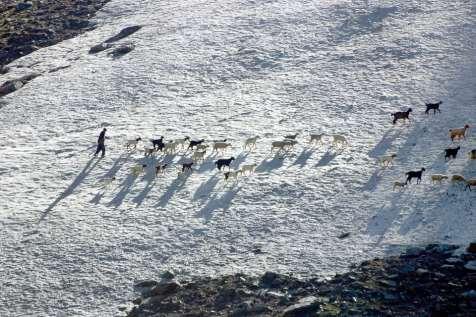 A Bakarwal Gujjar bringing his sheep home from grazing.