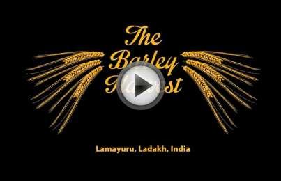 The Lamayuru, Ladakh Barley Harvest