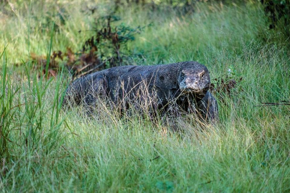 A Komodo dragon on the hunt. Photo by Jessie Brandon