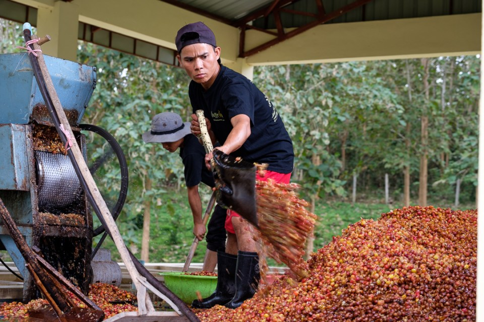 Thongsai, shoveling the cherry husk. This will be dried and sold to make cascara tea.