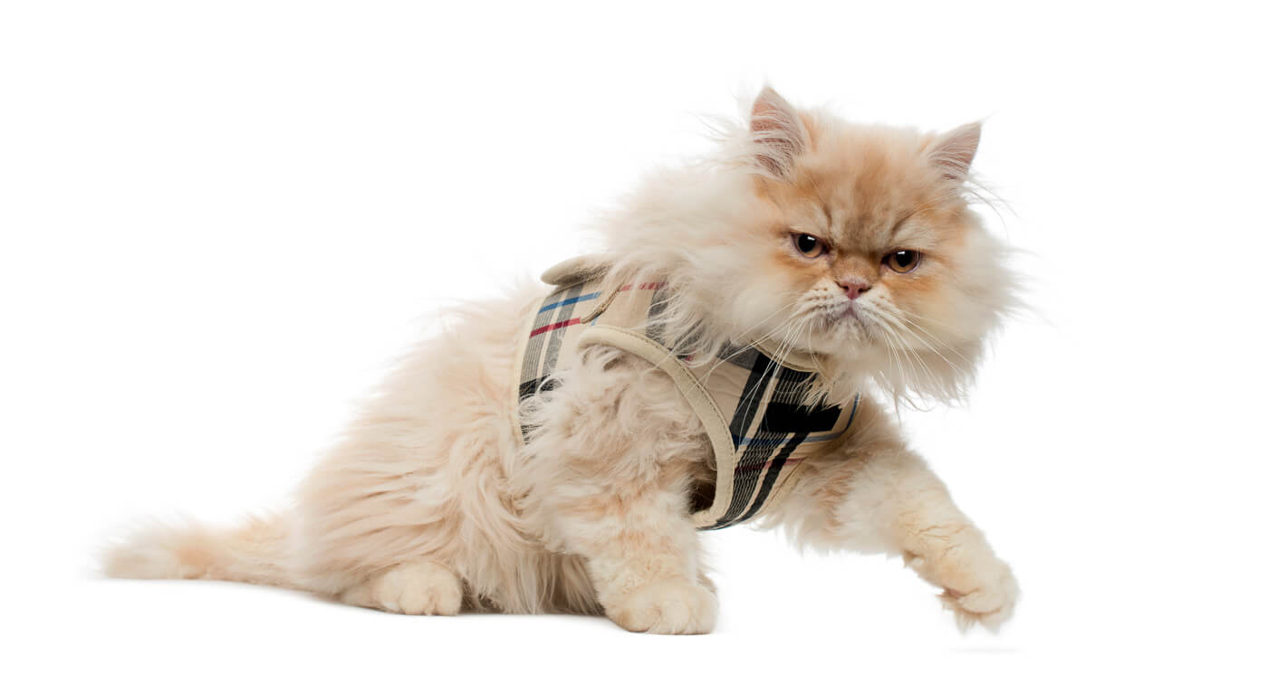 Side view of a Persian kitten with tartan harness, walking away, 4 months old, isolated on white