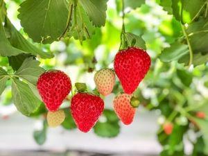 【平井観光農園】苺狩りだけでなくトマト狩りも楽しめちゃう♪