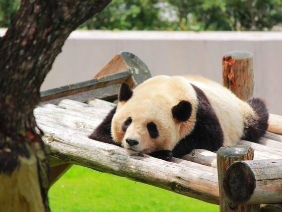席替えで好きな人の隣になれるパンダおまじない