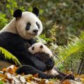 "Disneynature ""Born in China"""