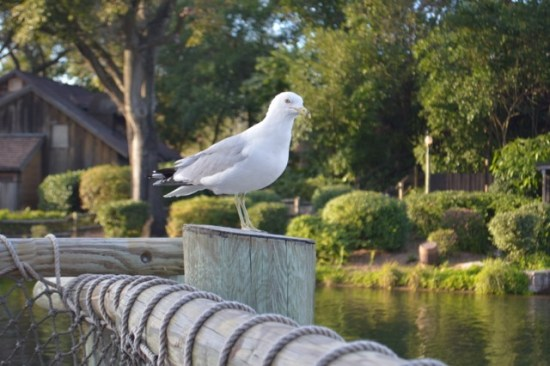 Seagull Frontierland Magic Kingdom Wordless Wednesday
