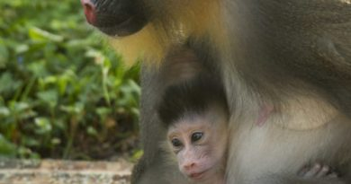 baby Mandrill animal kingdom