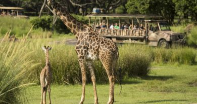Baby Giraffe Debuts at Disney's Animal Kingdom