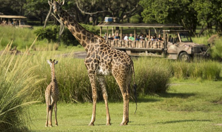 Baby Giraffe Debuts at Disney's Animal Kingdom