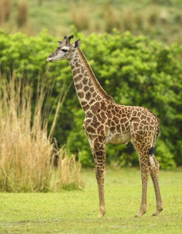 Giraffe Calf Joins Herd on Disney's Animal Kingdom Savanna