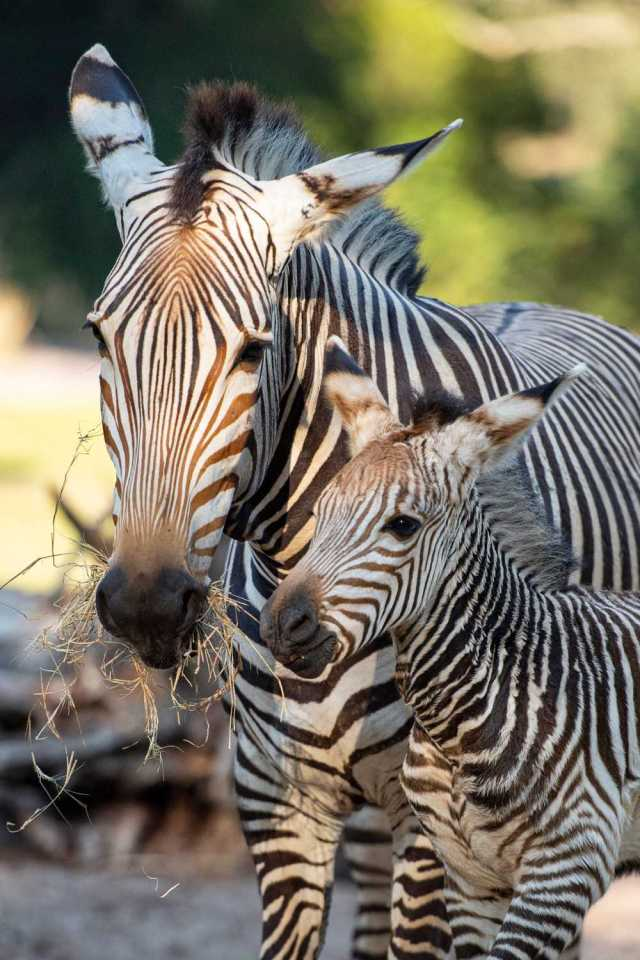Dash the Baby Zebra at Disney's Animal Kingdom Theme Park