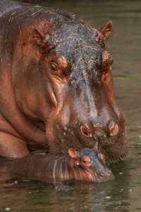 Hippo Calf Born at Disney's Animal Kingdom Theme Park