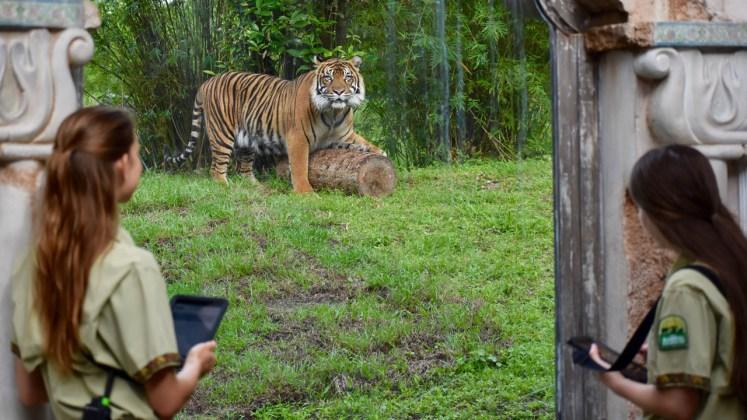 3 animals conservation, tigers