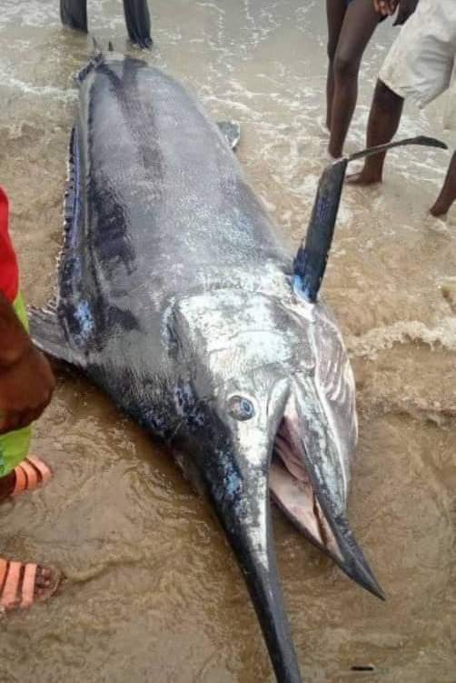 Man Caught Blue Marlin Fish Worth $2.6 Million In Warri And Ate It With His Village People 2