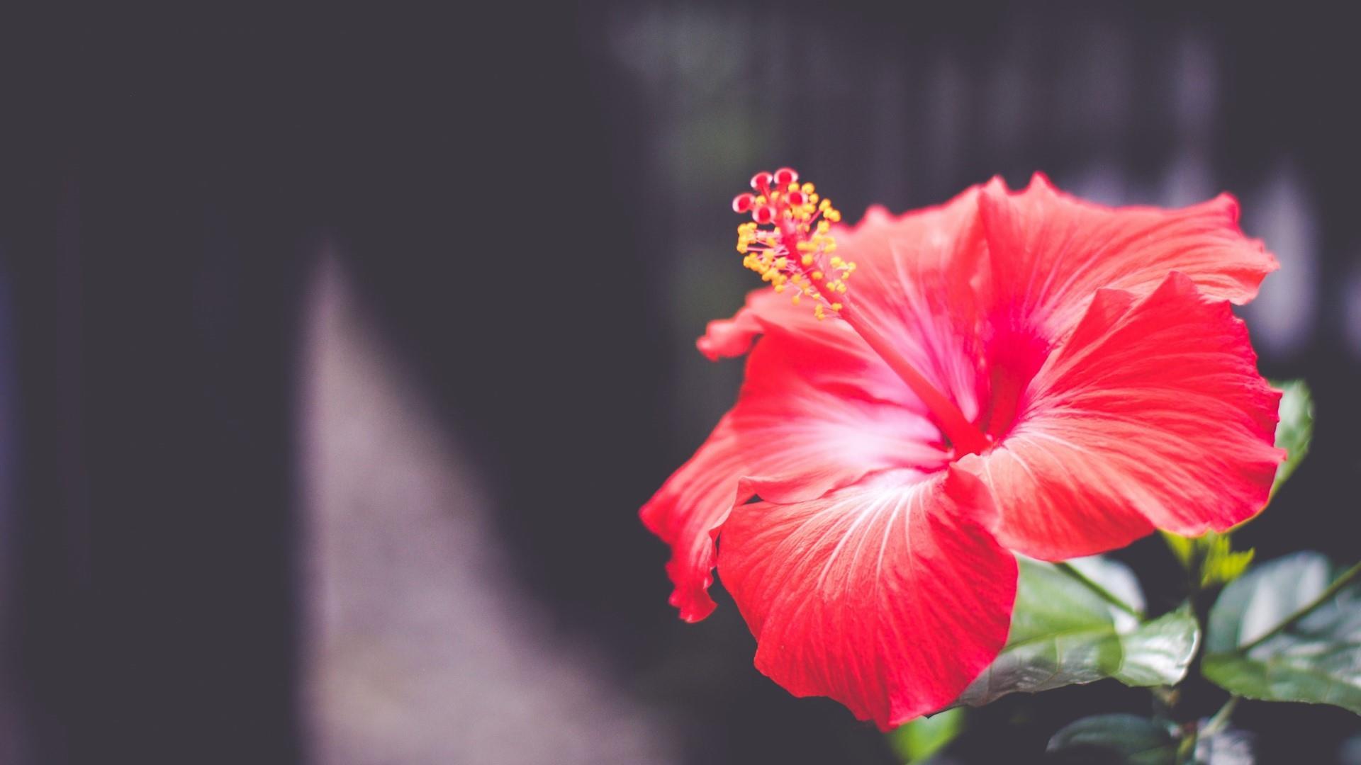 6 Amazing Beauty Benefits Of Hibiscus Flower