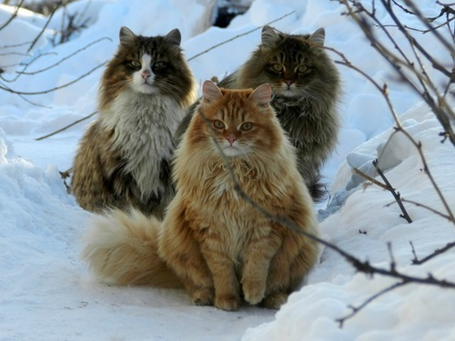 norwegian forest cats the pets of the vikings