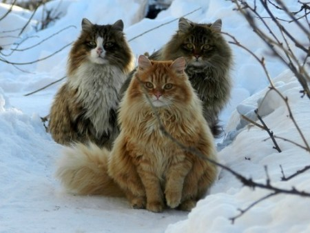 Three Norwegian forest cats. Image source: www.i.imgur.com